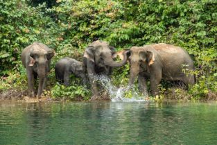 Elefanten Familie im Khao Sok Nationalpark, Thailand